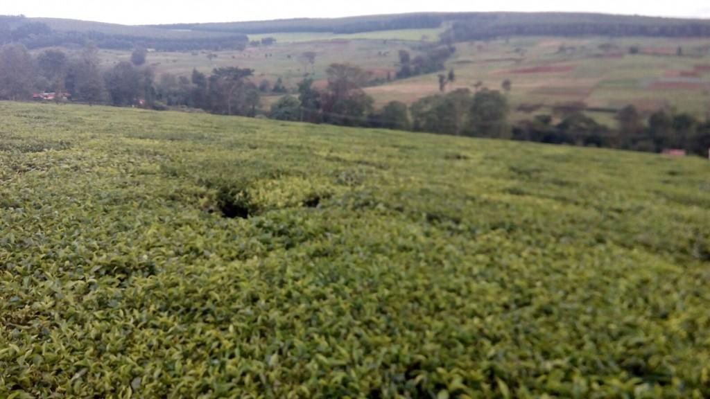 The lush tea farms of Kericho.
